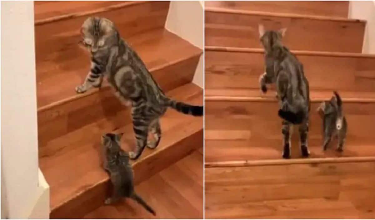 Viral Video: Cute Cat Teaches Her Little Kitten How To Climb Stairs